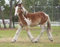 Chase N Gold, 2009 Gypsy Vanner Horse colt