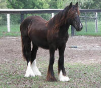 GG Cleopatra, 2006 Gypsy Vanner Horse mare