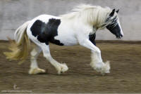Cloud Dancer, 2004 Gypsy Vanner Horse mare
