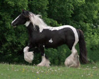 Cricket, imported Gypsy Vanner Horse mare