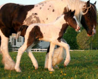 Cricket colt, 2007 Gypsy Vanner Horse foal