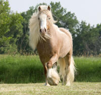 Cullahill Castle, imported Gypsy Vanner Horse gelding
