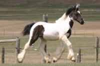 DJ Hunter's Moon, 2014 Gypsy Vanner Horse colt