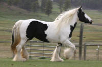High Valley Mystery, 1998 imported Gypsy Vanner Horse mare