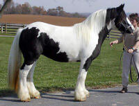 Dinah, imported Gypsy Vanner Horse mare in the US