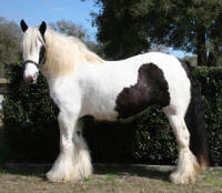 GB Disney Gold, 2004 Gypsy Vanner Horse mare