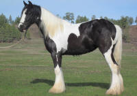 Emma, 2008 Gypsy Vanner Horse filly
