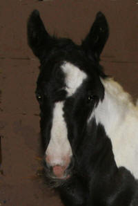 GG Falling Star, 2007 Gypsy Vanner Horse filly