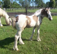 Finley, 2008 Gypsy Vanner Horse colt