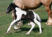 Flash Dance, Gypsy Vanner Horse colt