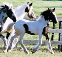Gidion, Gypsy Vanner Horse weanling colt