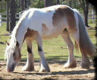 Gold N' Luck, 2003 imported Gypsy Vanner Horse mare
