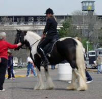 Holiday, imported Gypsy Vanner Horse mare