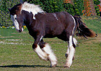 Hollywood, Gypsy Vanner Horse colt