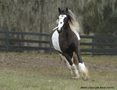 Equirace Gypsy, Gypsy Vanner Horse mare
