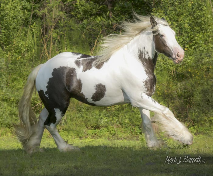 The King's Morning Gory, 2012 Gypsy Vanner Horse filly