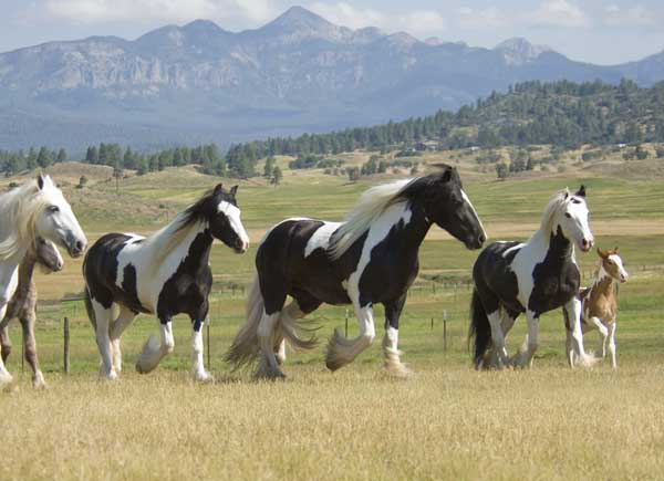 Gypsy Vanner Horse mares at Superior Stables in CO