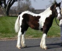 Annabelle, imported Gypsy Vanner Horse filly