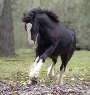 BB King, Gypsy Vanner Horse colt