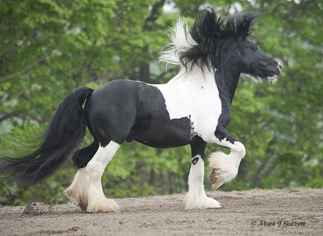 Babes, 2003 imported Gypsy Vanner Horse stallion