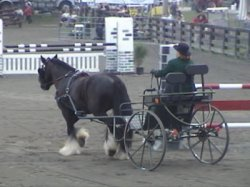 Bandit, Gypsy Vanner Horse gelding driving in the breed Demo at the NJ State Fair
