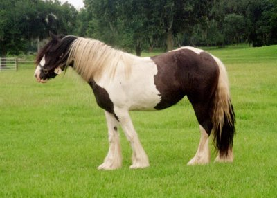 Birthday Girl, 2001 Gypsy Vanner Horse mare