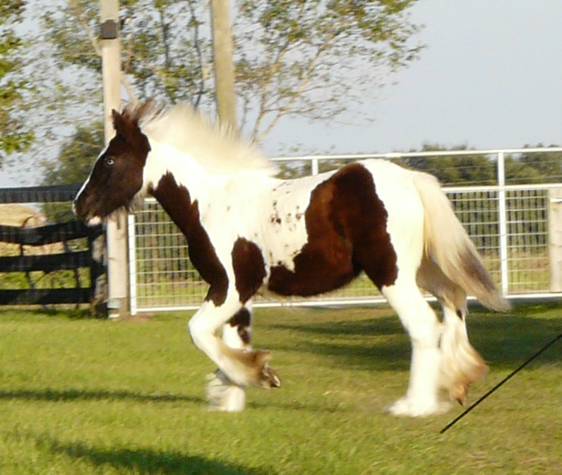 Caravanner's The Sadler Mare, 2014 Gypsy Vanner Horse filly