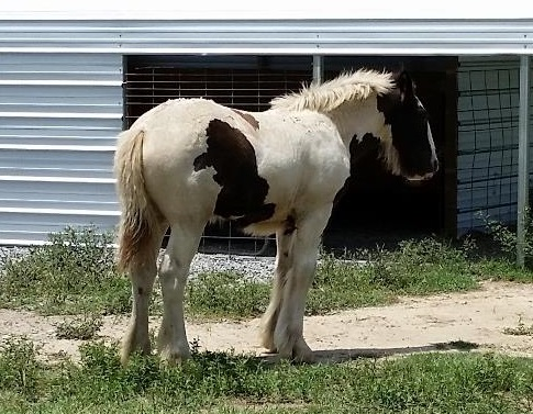 Lexie's CayMiss, 2015 Gypsy Vanner Horse filly