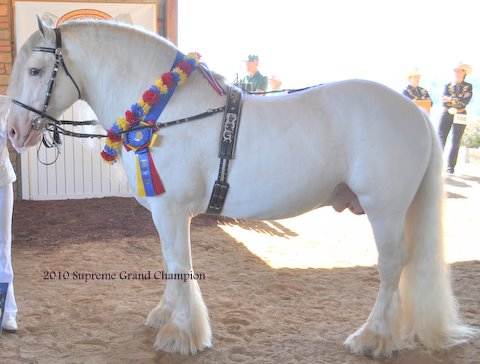 Cobalt, 2002 imported Gypsy Vanner Horse stallino