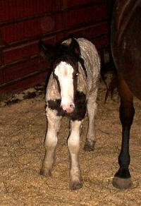 Valley, newborn Gypsy Vanner Horse filly