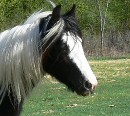 Firestorm, 2005 imported Gypsy Vanner Horse stallion