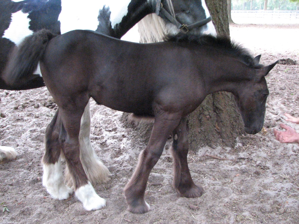 GG Heart O' Gold, 2016 Gypsy Vanner Horse filly