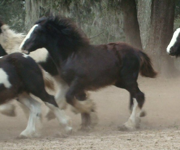Rexie colt, 2008 Gypsy Vanner Horse foal