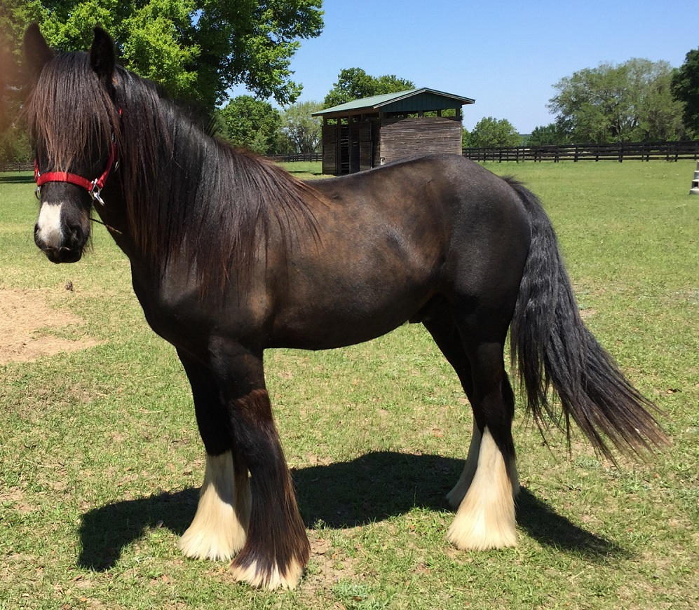 Inver Hill's Mr. Guinness, 2014 Gypsy Vanner Horse col
