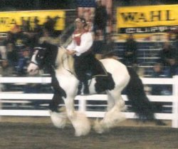 Gypsy King, imported Gypsy Vanner Horse stallion at the EA in MA