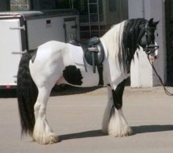 Gypsy King, imported Gypsy Vanner Horse stallion at the EA in Ohio