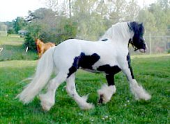 Lash, first Gypsy Vanner Horse colt born in America