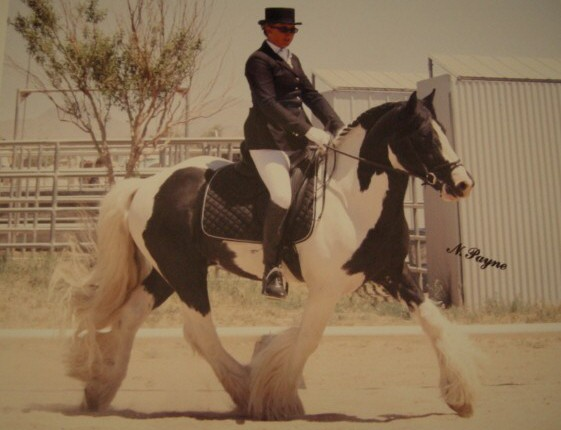 Magnu, 2002 imported Gypsy Vanner Horse stallion