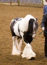 Sylvester the Marquis, imported Gypsy Vanner Horse stallion