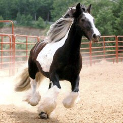 Minnie, imported Gypsy Vanner Horse mare