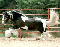 Minnie, Gypsy Vanner Horse mare, photo courtesy of Searcy Sports