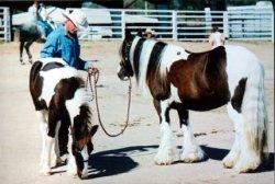 Minnie & Traveller, Gypsy Vanner mare & colt at Equifair 2003