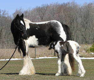 Novel of Feathered Gold, imported Gypsy Vanner Horse mare