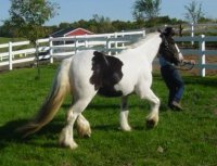 Oisin, imported Gypsy Vanner Horse gelding