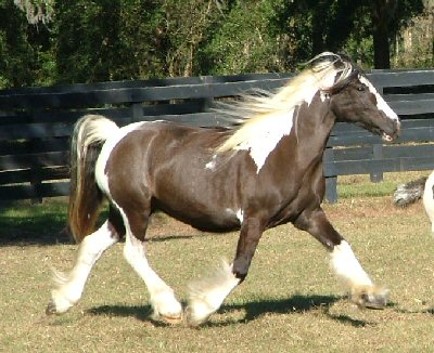 Papuza, 1996 imported Gypsy Vanner Horse mare