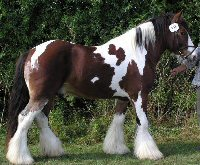 Holm's Picasso, 2001 imported Gypsy Vanner Horse stallion