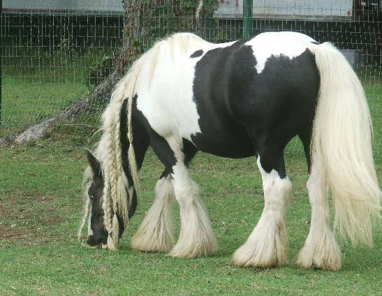The Pied Piper, imported Gypsy Vanner Horse gelding