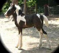 Imperial Playboy, Gypsy Vanner Horse colt