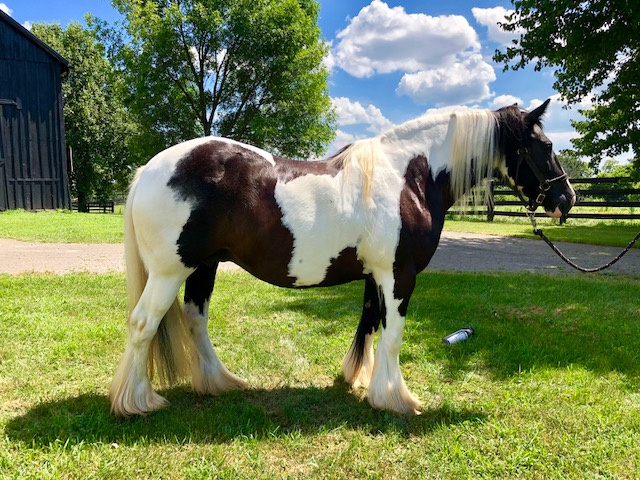 Queenie's Legend, 2007 Gypsy Vanner Horse mare