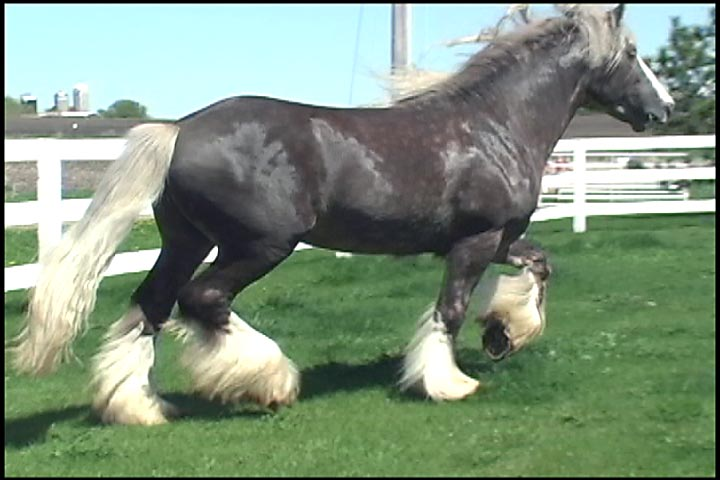 Sir Royal Excalibur, 2004 imported Gypsy Vanner Horse stallion